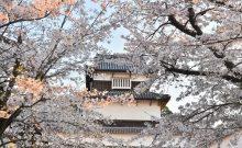 福岡城さくらまつり見頃です(協賛イベント)